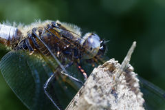 Broad-bodied Chaser - super macro Stock Photography
