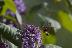 Broad-bordered bee hawk-moth Stock Photos