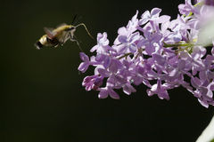 Broad-bordered bee hawk-moth Stock Images