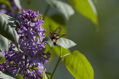 Broad-bordered bee hawk-moth Royalty Free Stock Photos