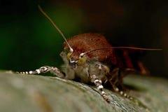 Broad-bordered yellow underwing moth, Noctua fimbriata. In closeup Royalty Free Stock Photo