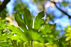 Broad Green Leaf. A broad green leaf with viens Royalty Free Stock Images