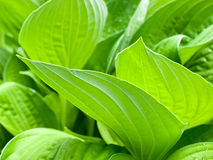Broad green leaves overlapping Stock Photography