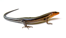 Broad-Headed Skink Stock Photo