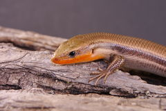 Broad-headed Skink Stock Photography