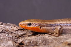 Broad-headed Skink Royalty Free Stock Image