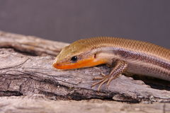 Broad-headed Skink Royalty Free Stock Photo