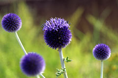 Broad leaf globe thistles. 'Echinops latifolius royalty free stock photo