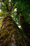 Broad leaf Maple tree in Pacific rainforest. stock photo