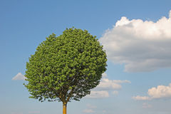 Broad leaf tree against blue sky with clouds Stock Photos