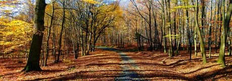 Broad leaf trees forest/woodland with gravel road at autumn afternoon daylight. Forest floor,foliage, panoramic photo. Bright colours,red, yellow. Chriby,Czech royalty free stock image
