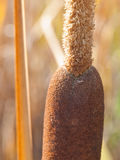 Broad-leaved Cattail Detail Stock Photography