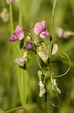 Broad-leaved Everlasting-pea Royalty Free Stock Photo