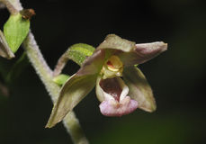 Broad-leaved Helleborine Royalty Free Stock Images