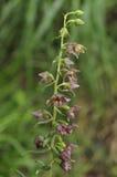 Broad-leaved Helleborine - Epipactis helleborine Stock Photos
