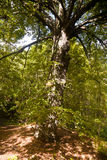 Broad leaved lime tree Stock Photos