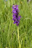 Broad-leaved Marsh Orchid. Dactylorhiza majalis Royalty Free Stock Photography