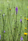 Broad-Leaved Marsh Orchid. Broad-Leaved Marsh Orchid on the Isle of Skye in Scotland stock photography