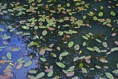Broad-leaved pondweed floating leaves Stock Image