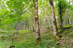 Broad-leaved ravine forest. An example of Broad-leaved ravine forest Communities of sycamore maple, European ash, large-leaved lime, small-leaved lime and Norway Stock Image