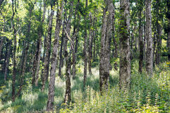 Broad-leaved ravine forest. An example of Broad-leaved ravine forest Communities of sycamore maple, European ash, large-leaved lime, small-leaved lime and Norway Stock Photos
