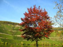 Broad-leaved tree in autumn. Broad-leaved tree and vineyard at the Moselle in Germany Stock Image