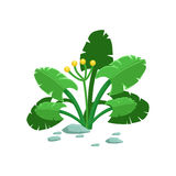 Broad-Leaved Tropical Jungle Plant Natural Landscape Design Element, Part Of Scenery In Nature Landscaping Constructor. Detailed Cartoon Vector Objects For Stock Photos
