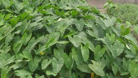 The broad leaves of green plants stock video