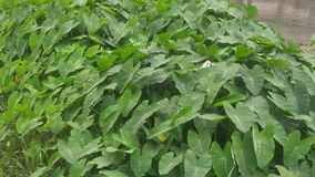 The broad leaves of green plants stock footage
