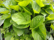 Broad leaves on the lawn closeup Royalty Free Stock Photos