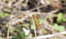 Broad Scarlet Crocothemis erythraea Dragonfly on a Stalk. In Northern Tanzania Stock Image