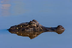 Broad-snouted Caiman. In argentina Royalty Free Stock Photography