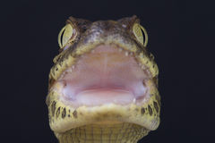 Broad-snouted caiman / Caiman latirostris Royalty Free Stock Photo