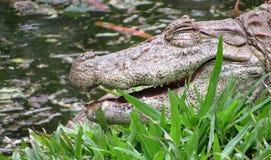 Broad-Snouted Caiman Caiman latirostris Lurking on Swampy Wate. Rs Royalty Free Stock Photo