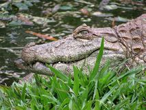 Broad-Snouted Caiman Caiman latirostris Lurking on Swampy Wate Royalty Free Stock Images