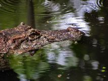 Broad-Snouted Caiman Caiman latirostris Lurking on Swampy Wate Stock Images
