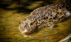 Broad-Snouted Caiman Caiman latirostris Lurking on Swampy Wate. Rs Stock Photo