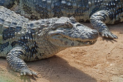 Broad-snouted caiman Stock Photos