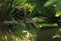 Broad-snouted caiman. In water stock photography