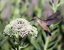 Broad-tailed hummingbird Royalty Free Stock Image