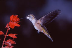 Broad-tailed Hummingbird. Female getting necter form a red flower Royalty Free Stock Photography
