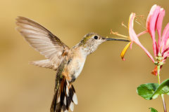 Broad Tailed Hummingbird Stock Photography