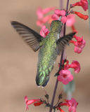 Broad Tailed Hummingbird. Drawing nectar from a Penstemon flower. Angelic pose with iridescent color Stock Photos
