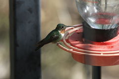Broad-tailed Hummingbird Royalty Free Stock Photos
