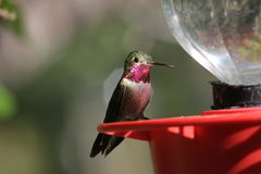 Broad-tailed Hummingbird Stock Images