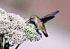 Broad-Tailed Hummingbird Feeding on Sedum. A Broad-Tailed Hummingbird rests & feeds on nectar from a Showy Sedum in the mountain west of USA; Hummingbirds Stock Photos