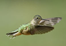 Broad-tailed hummingbird female Stock Photos