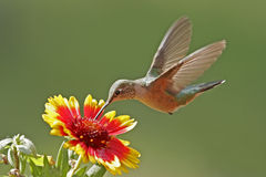 Broad-tailed hummingbird female Royalty Free Stock Image