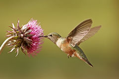 Broad-tailed hummingbird female (Selasphorus platycercus) Stock Photo