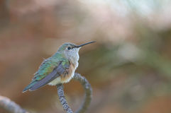 Broad-tailed Hummingbird Stock Image